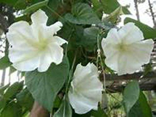 Moonflower Vine (MOONFLOWER VINE SEEDS! RIESIGE DUFT WHITE FLOWERS! KOMBI S/H!)