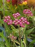 Achillea millefolium Kirschkönigin - Garten-Schafgarbe, 6 Pflanzen
