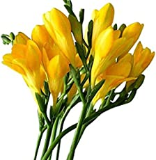 "Kriti Kalash! Freesia Hybrid Flower Bulbs Collection of 14 Bulbs ""Tall Yellow-Color"""