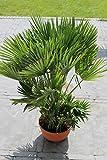 Chamaerops humilis Höhe 100-120 cm. mit mehreren Stämmen. Eine der kältetolerantesten Palmenarten in Europa