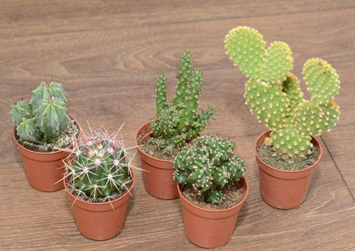 set-of-5-cactus-in-55cm-pot
