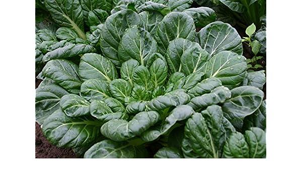 TATSOI Seeds narinosa Toys Tatsoi/â/€/œ,Asia Greens satsenf GEOPONICS 1000