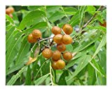 Sapindus saponaria - - 5 semillas