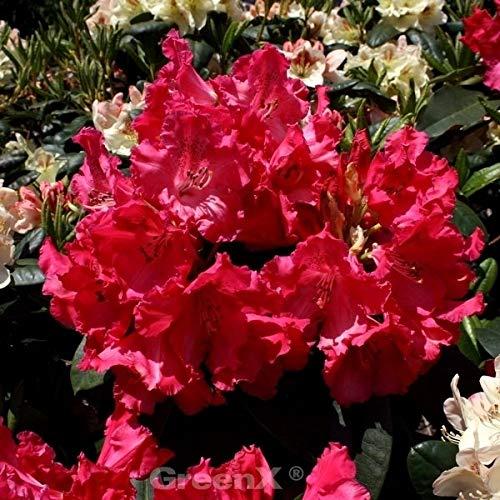INKARHO - Großblumige Rhododendron Weinlese 25-30cm - Alpenrose