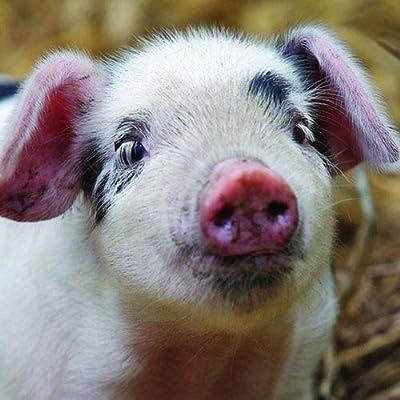 Schwein - Piglet - Ferkel - Square Card von Otter House Square Card auf Du und dein Garten