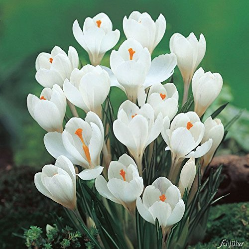 Krokus Zwiebeln Jeanne d\'Arc - 15 Blumenzwiebeln (Crocus) - Krokusse zum Pflanzen, mehrjährig, winterhart mit Blumen-Blüten in strahlendem weiß mit orangen Staubgefäßen von Garten Schlüter