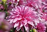 #9: Bee Garden Giant Dahlia Deep Rose Flower Seeds (Pack Of 50 Seeds)