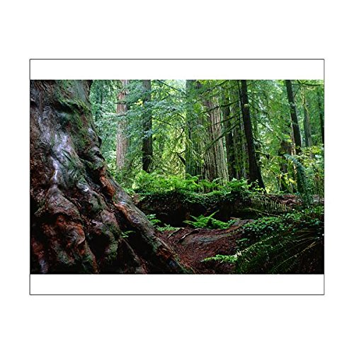 Price comparison product image Media Storehouse 10x8 Print of Redwood Forest, Redwood Forest National Park, California, USA (12015806)