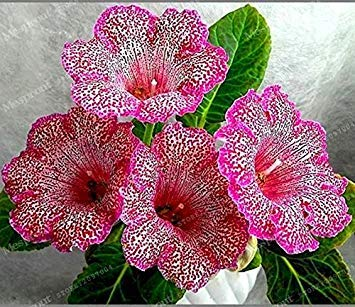 GEOPONICS 100 Stück Rare Reals Gloxinie Seed Sinningia Gloxinie Seed Startseite Bonsai Diy für Garten -seed 12