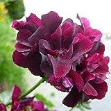 Yukio Samenhaus - 10 Stück England Stehende Geranie 'Appleblossom' Samen, Balkon-Geranie mit Traumblüten, Hit in Balkonkästen, Kübeln und Beeten (rot)