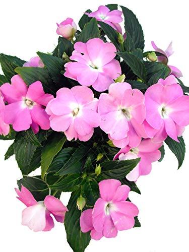 Edellieschen flieder - Bezaubernde Pflanzen für den Innen- und Außenbereich