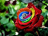 #5: IRIS GARDENS Rare Grafted Exotic Rainbow Rose Flower 1 Healthy Live Plant
