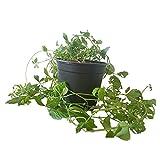 Kraut der Unsterblichkeit - Unsterblickeitskraut-Pflanze in großem 12 cm Topf
