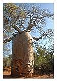 3x Adansonia rubrostipa Affenbrotbäume Baum Pflanze Samen Winterhart Neu B520