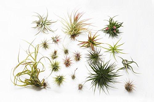 5-tillandsia-air-plant-collection