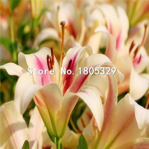 Pinkdose Perte Promotion Un paquet de 50 pièces/paquet points jaunes coeur rouge blanc Fleur de lys Graines Bonsai Balcon Cour usine Lily Fleurs: 6