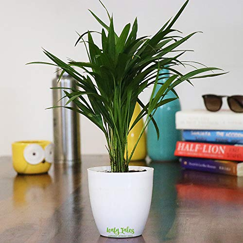 Leafy Tales Air Purifying NASA Areca Palm Plant in White Plastic Pot I Anti Pollution I Easy Maintenance Plant for Home I Women's Day Gift I Holi Special 