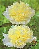 """Pfingstrose Primevere Paeonia Lactiflora """"1 Wurzelstück mit Augen"""" Rarität -"""