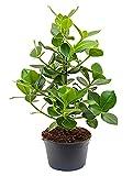 Balsamapfel Princess besondere Zimmerpflanze für hellen Standort Clusia rosea 1 Pflanze 60-70 cm im 23 cm Topf von Redwood