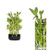 Bambus Zimmerpflanze Die Besten Im Vergleich