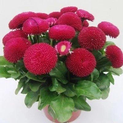 25 tipi semi crisantemo & del fiore della margherita di 100% reale nizza pacchetto liberi di scegliere giardino domestico di diy border yard balcone