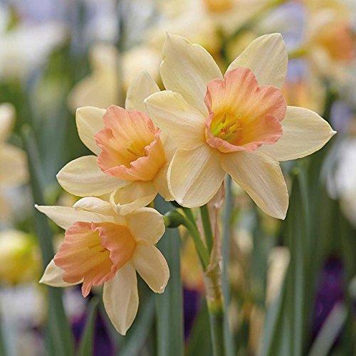 100 pièces / paquet Narcissus Graines de fleurs jonquille graines bonsaïs pétales de double absorption de rayonnement en pot bricolage jardin usine 13