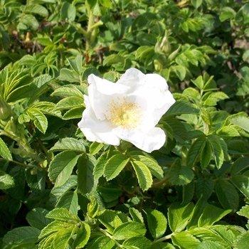 Apfelrose, Hagebutte, Kartoffelrose 'Alba' - Rosa rugosa 'Alba' 40-60 cm, ab 3 Triebe von Gartengruen24 - Du und dein Garten