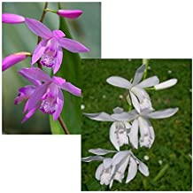 Starter Kit ☆ 2 Garden Orchids for Newbies bundled with variety Bletilla Striata Easy Orchids ☆ 1 Purple Hyacinth and 1 White Alba for June to July flowering (1)