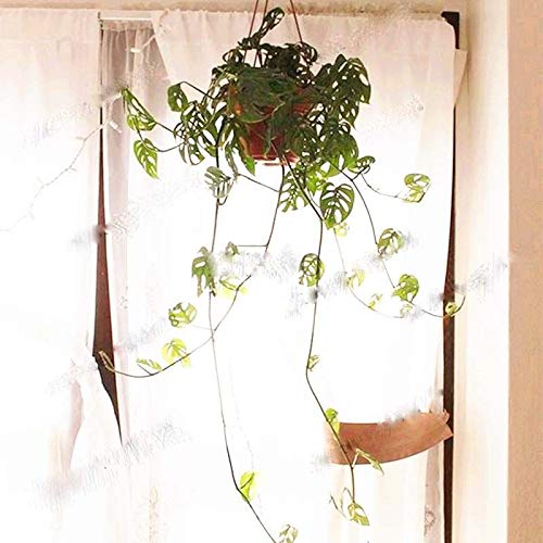PLAT FIRM KEIM SEEDS: 100 Stück Monstera Obliqua Samen, leicht, Bonsai-Pflanze für Haupthofdekorationen wachsen
