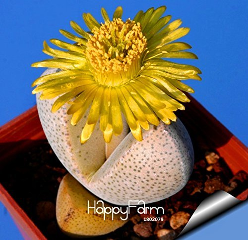 New Seeds 2015! 100% Genuine 10pcs / Pack Conophytum Calculus les graines de cactus succulentes les plus rares ~ Lithops Seeds Semillas De Flores,