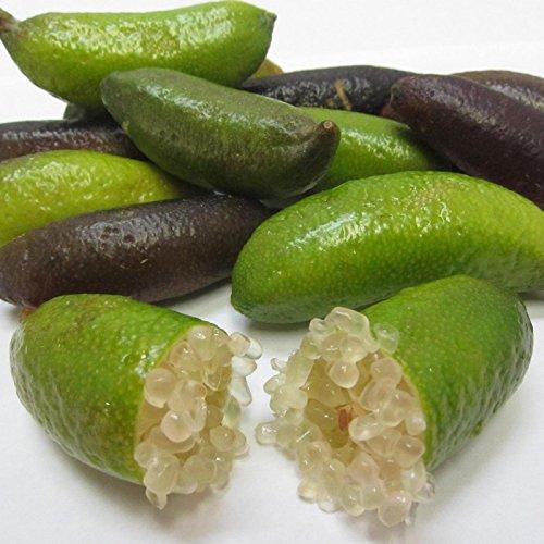 Microcitrus australasica - Citron caviar - Lime d'Australie