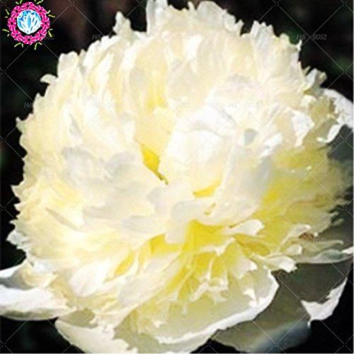 10 pcs / sac graines de pivoines fleurs doubles Heirloom Sorbet robuste pivoines graines de fleurs bonsaï pot noir graines de pivoine arbustive jardin des plantes 5