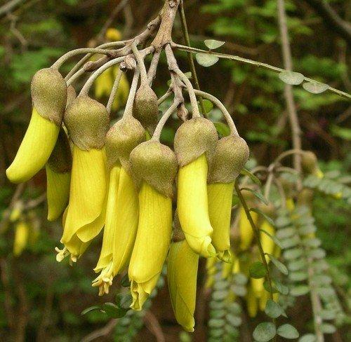 Plant World Seeds - Sophora Microphylla Longicarinata Seeds