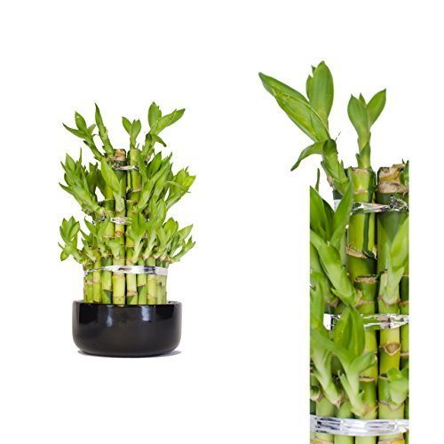 Lucky Bamboo (Dracaena Sanderiana) Tower 25cm +/- in Ceramic Pot - Round - Random Colour Bowl In Crystal