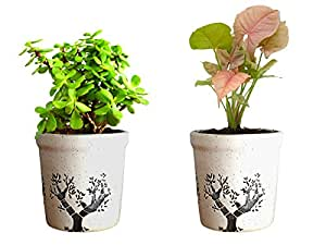 Rolling Nature Combo Of Good Luck Live Syngonium Pink Plant and Jade Plant in White Jar Aroez Ceramic Pot