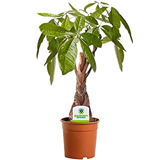 Pachira Aquatica - 1 Plant - House/Office Live Indoor Plant Tree in 12cm Pot