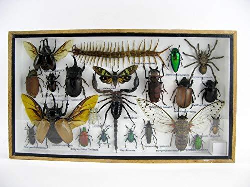 Asiahouse24 - Exótico Escarabajo Gigante
