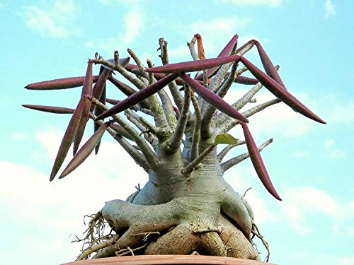 Homely Adenium Arabicum Shada Pachycaul Rose du Désert Bonsaï Cactus Graine Caudex 15 Graines
