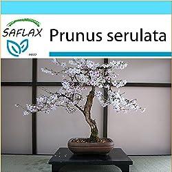 SAFLAX - Geschenk Set - Bonsai - Japanische Blütenkirsche - 30 Samen - Prunus serulata