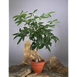 Glückskastanie (Pachira) 60-80cm hoch, 1 Pflanze