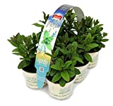 12 PIANTA AROMATICHE Mix MENTA N.6 x 2 pack in vaso Ø 9 cm immagine