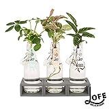 Plante d'intérieur de Botanicly - Jungle urbaine en bouteille...