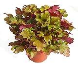 Heuchera 'Marmelade'' - Purpurglöckchen - Staude winterhart immergrün mehrjährig , sehr robuste Pflanze im 12 cm Topf für Balkonkästen, Beet, Steingarten
