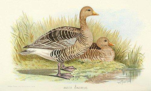 foster-wh-indian-sporting-birds-1915-grey-lag-goose-artistica-di-stampa-4572-x-6096-cm