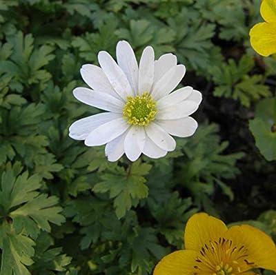 lichtnelke - Strahlenanemone ( Anemone blanda ) White Splendour von Lichtnelke Pflanzenversand auf Du und dein Garten