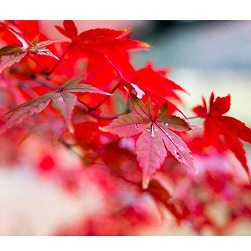 Japanese Red Maple Bonsai (30Samen/Pack Japanisch Rot Ahorn Baum mit hermetisch geschlossenen Paket * sehr schöne * JAPAN Ahorn Neue Samen)