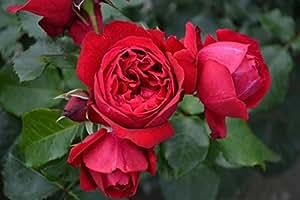 Duftrose d. Provence Elbjuwel im 7 Liter Rosentopf