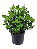 Balsamapfel Princess 70-90 cm im 35 cm Topf unempfindliche Zimmerpflanze für Hell-Halbschatten Clusia rosea 1 Pflanze