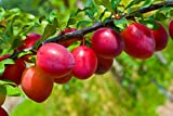 #9: Live ALOO BUKHARA (PLUM) Fruit Plant