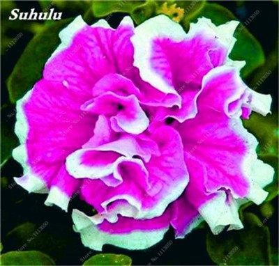 100 pcs / sac pétales de double Petunia Graines Bonsai Graines de fleurs Court Taille Jardin Fleurs Graines d'intérieur ou Ourdoor Pot 15 Plante